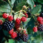 How to Plant Blackberries