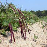 How to Plant Purple Hull Peas