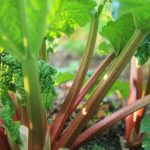 How to Plant Rhubarb
