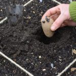 How to Plant Seed Potatoes