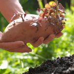 How to Plant Sweet Potatoes