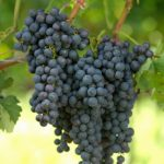 How to Plant Grape Vines