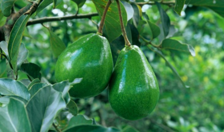 how to grow avocado plant from seed