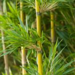 How to Plant Bamboo