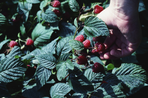 How to Plant Raspberries
