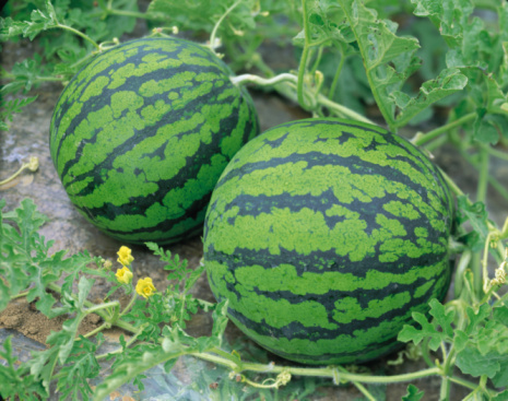 How to Plant Watermelons
